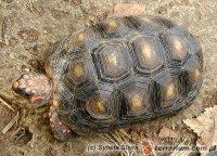 Chelonoidis (Geochelone) carbonarius - żabuti czarny