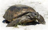 Gopherus polyphemus - żółw norowy