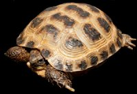 Testudo (Agrionemys) horsfieldii - żółw stepowy