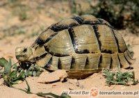 Testudo kleinmanni - żółw egipski