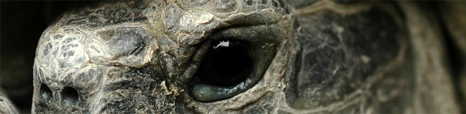 Żółw jaszczu  Żółw grecki - opis hodowli gatunku (zewnętrzny odnośnik)